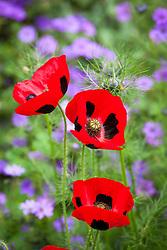Papaver commutatum 'Ladybird'. Ladybird poppy growing with geranium and nigella