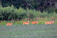 A bachelor herd of mature whitetail bucks graze in an alfalfa field