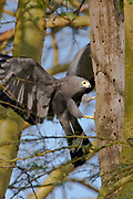 The African Harrier Hawk, (Polyboroides typus)robbing a nest in Lake Nakuru NP, Kenya.