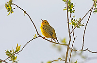 Songbirds like the Yellow Warbler are one of the most vocal birds in early spring.