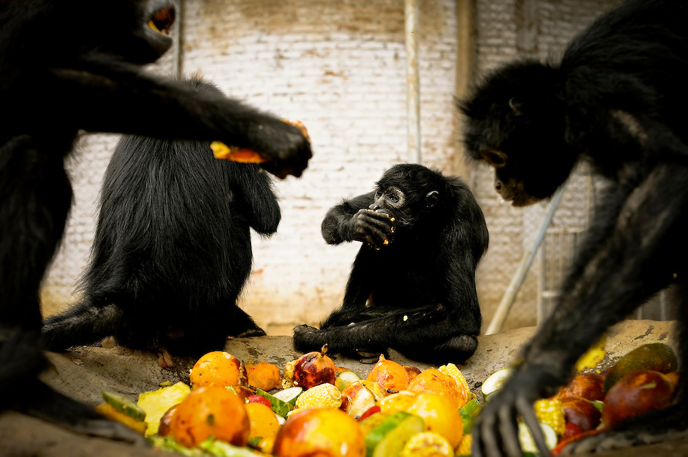 Maria Eugenia, (center) a spider monkey, eats fruit at the Villa Lorena Animal Refuge in Santiago de Cali, Colombia. Maria Eugenia was shot in the spine by hunters that shot her to make her and her baby fall from a tree, in order to sell her baby on the monkey black market, according to Ana Julia Torres, the refuge's founder. The bullet is still lodged in her spine, causing a large hump on her back. Veterinarians told Torres that to extract it would leave Maria Eugenia paralyzed.