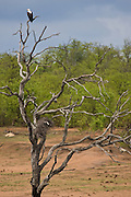 African Fish Eagle, perched at the top of a barren tree, Kruger National Park, South Africa