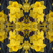 Photographic series of digital computer art from an image of yellow daffadits.<br /> <br /> Two layers were used, first one mirrored and flipped to second one, to enhance, alter, manipulate the image, creating an abstract surrealistic mirrored symmetry.