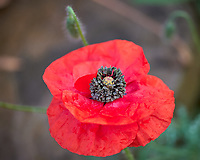 Red Poppy. Image taken with a Leica CL camera and 35 mm f/1.4 or 60 mm f/2.8 lens