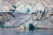 A harbor seal (Phoca vitulina) swims among the towering icebergs in the glacial lagoon, Jökulsárlón, Iceland. The icebergs floating in the lake calved off from the Breiðamerkurjökull glacier with some of the ice being more than 1,000 years old. Jökulsárlón covers an area of about 18 square kilometers (6.9 square miles) and ranks as the deepest lake in Iceland.
