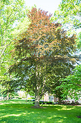 college green, Mapp Athens, summer, Tree Tour, European Beech