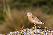 Endangered New Zealand Dotterel, Waiheke Island