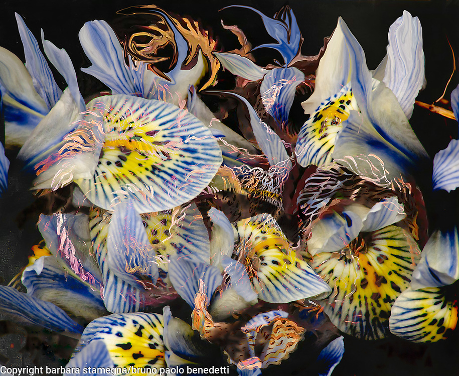 dominant indigo petals abstract image with fluid abstract shapes in indigo and yellow colors on black background