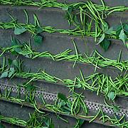 Nederland Giessen 28 augustus 2009 20090828 Foto: David Rozing  ..Serie over levensmiddelensector                                                                                      .Machinale oogst van tuinbonen. Deze boontjes worden vervolgens getransporteerd naar de fabriek van HAK, waar de groente dezelfde dag wordt verwerkt. Harvest ..Foto: David Rozing