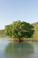 A large mangrove tree in the shallows of Orpheus Island.