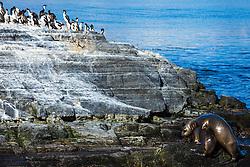 Leões-marinhos na Ilha Alicia mais conhecida como Ilha dos Lobos no Canal de Beagle na região de Ushuaia, Argentina. FOTO: Jefferson Bernardes/ Agência Preview