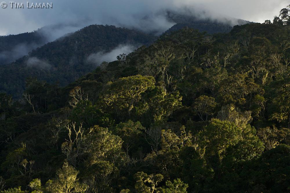 Montane rain forest of the Arfak Mountains, New Guinea.  Habitat of the Vogelkopf Bowerbird.