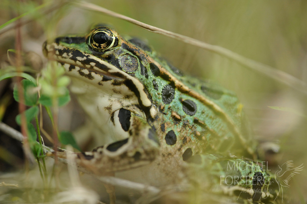 A northern leopard frog lingers near the bank of a prairie slough in the 35,000-acre project area, considered the largest tallgrass prairie and wetland restoration in U.S. history.  Glacial Ridge National Wildlife Refuge, Minnesota.