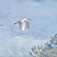 Great White Bird.