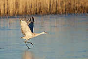 Bosque del Apache National Wildlife Refuge, New Mexico, a Sandhill Crane (Grus canadensis) taking off from a frozen pond