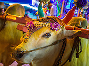 04 OCTOBER 2014 - GEORGE TOWN, PENANG, MALAYSIA:  Oxen pull the cart carrying the deity during a procession honoring Durga in George Town during the Navratri procession. Navratri is a festival dedicated to the worship of the Hindu deity Durga, the most popular incarnation of Devi and one of the main forms of the Goddess Shakti in the Hindu pantheon. The word Navaratri means 'nine nights' in Sanskrit, nava meaning nine and ratri meaning nights. During these nine nights and ten days, nine forms of Shakti/Devi are worshiped.   PHOTO BY JACK KURTZ