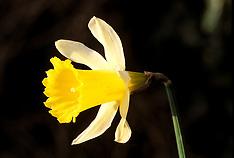 Wild daffodil, wilde narcis