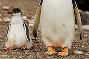 Nch erfolgter Fütterung ist dieses etwa zwei Wochen alte Eselspinguin  (Pygoscelis papua) Küken etwas schwerfällig. | After being fed this approx. two-weeks-old Gentoo Penguin (Pygoscelis papua) chick is a bit clumsy in its movements.