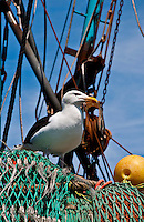 Long Island, New York, Shinnecock Harbor. Gull perched on nets on side of a fishing boat.