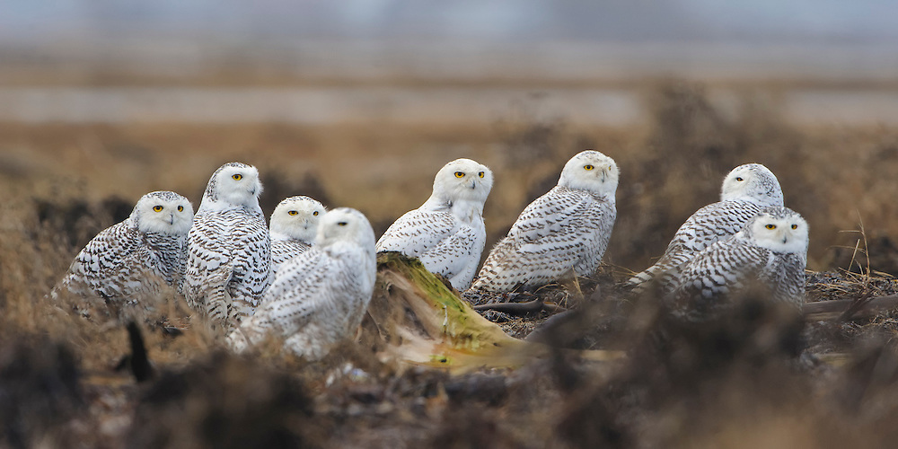 Eight snowy owls are tightly clustered as they observe an eagle in the distance, Pacific Northwest Coast