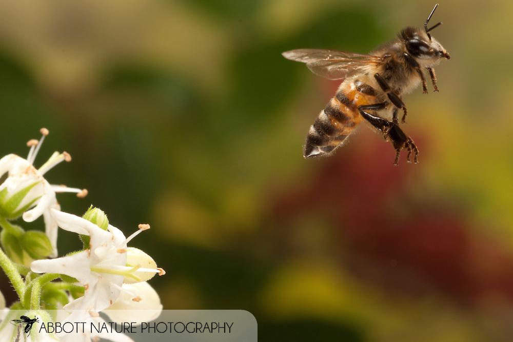 Apis mellifera (European Honey Bee) in flight; image captured using high speed flash.<br /> TEXAS: Travis Co.<br /> Austin<br /> 30.March.2009<br /> J.C. Abbott