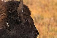 Watchful Eye - Yellowstone National Park