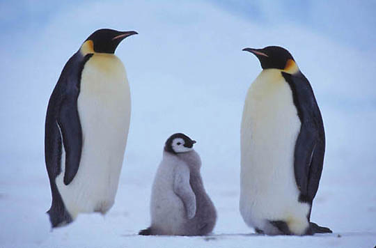 Emperor Penguin, (Aptenodytes forsteri) Adults and chick. Riiser Larsen ice shelf. Antarctica.
