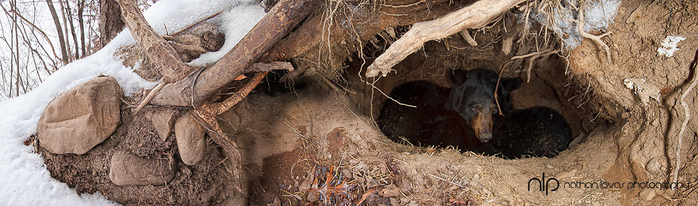 Two Black bears in a den.  Image is a composite of ten images showing exterior and interior of den.