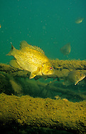 Rock Bass<br /> <br /> ENGBRETSON UNDERWATER PHOTO