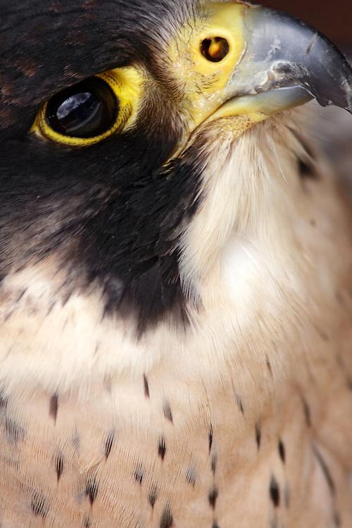 Peregrine falcon, (Falco peregrinus), captivity. Aillwee raptor centre, Burren Ireland