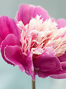 Paeonia lactiflora 'Magic Orb' - peony