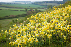 Cowslips growing on a hill in Hampshire. Primula veris