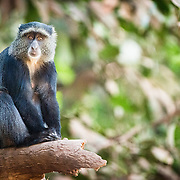 A blue monkey sits quietly on a branch at Lake Manyara National Park in northern Tanzania.