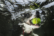 Tam the collie picking up a ball underwater in a Scottish Loch
