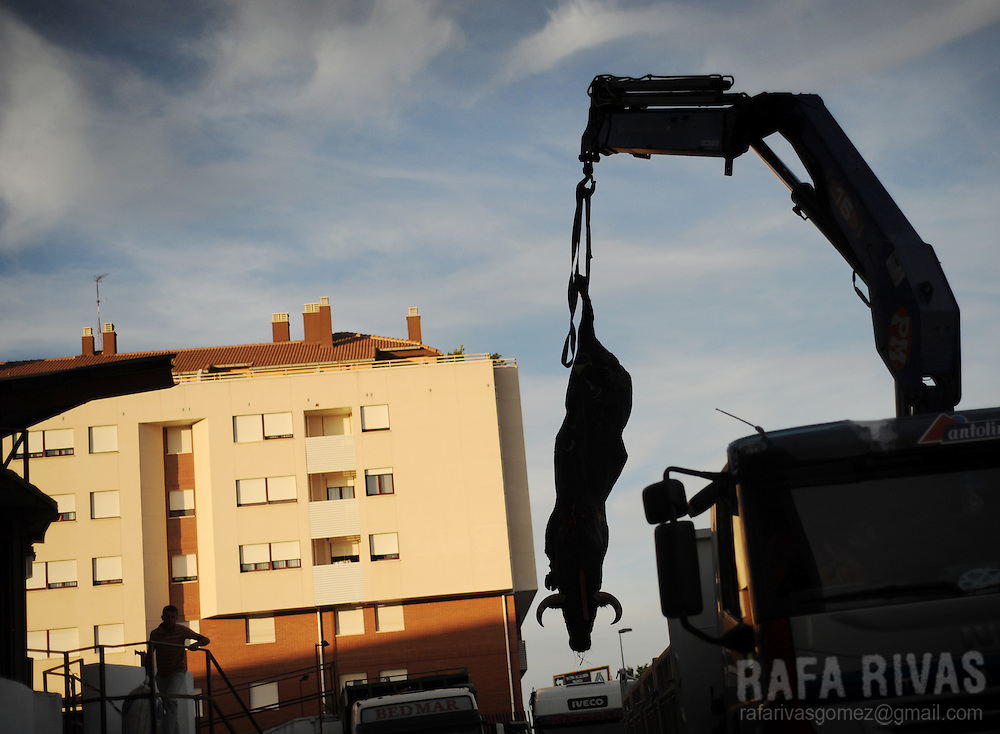A crane removes a dead Nunez de Cubillo fighting bull, after a corrida of the San Antolin festivities at the Palencia bullring, on September 2, 2009. PHOTO/Rafa Rivas