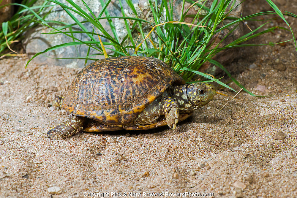 Ornate Box Turtle <br /> Terrapene ornata ornata<br /> Tucson, Pima County, Arizona, United States<br /> 9 July     Adult       Testudines:  Emydidae