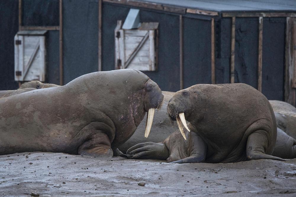 Walrus, Odobenus rosmarus, outside trapper's cabin, Gnålodden, Hornsund, Svalbard, Norway, ArcticSvalbard, Norway, Arctic