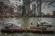 Rowing and taking in the cherry blossoms amidst the swan boats in Shinobazu pond, Ueno, Tokyo, Japan.