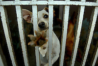 067450.ME.0715.chihuahua.kpc--baldwin park--animal shelter in baldwin park is the current home of 165 chihuahuas of all different types. They have been seperated into different groups as they were believed to harmful and aggressive. They are believed to have been mistreated by their owner.