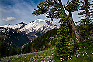 Mount Rainier from Sunrise, glacier, with wildflowers blooming
