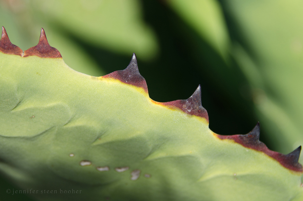 Thorns on an agave leaf.