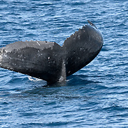 This is an adult female humpback whale that repeatedly held her fluke above the surface of the ocean while resting in a head-down position, such that her body was oriented vertically in the water. There was significant peeling or shedding of skin from the fluke's dorsal surface, as seen in this photo. Though the peeling was most likely due to normal sloughing off of skin, it was reminiscent of how human skin peels when sunburned. I speculate that another possibility could be that the whale may have had sunburn as a consequence of her resting behaviour. Date of encounter was 18 August 2017. See separate detail photograph of skin recovered from the fluke of this whale.