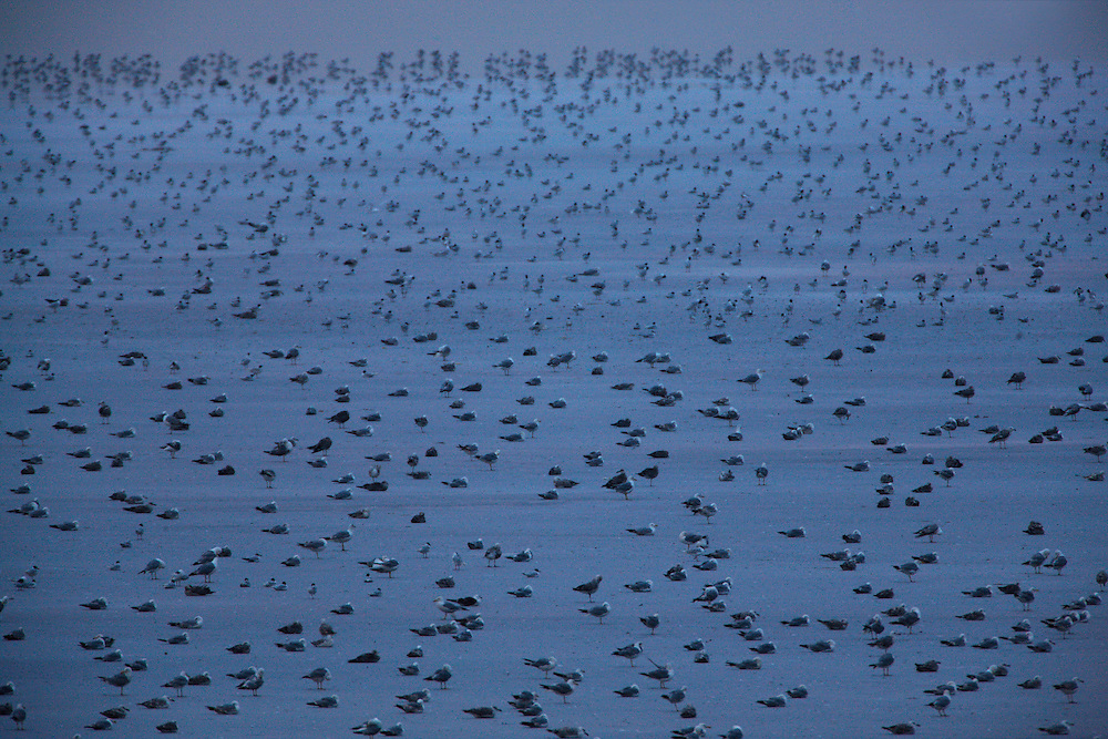 Flock of Mediterranean and Yellow-legged Gulls resting on a salt lake at Bagerova steppe