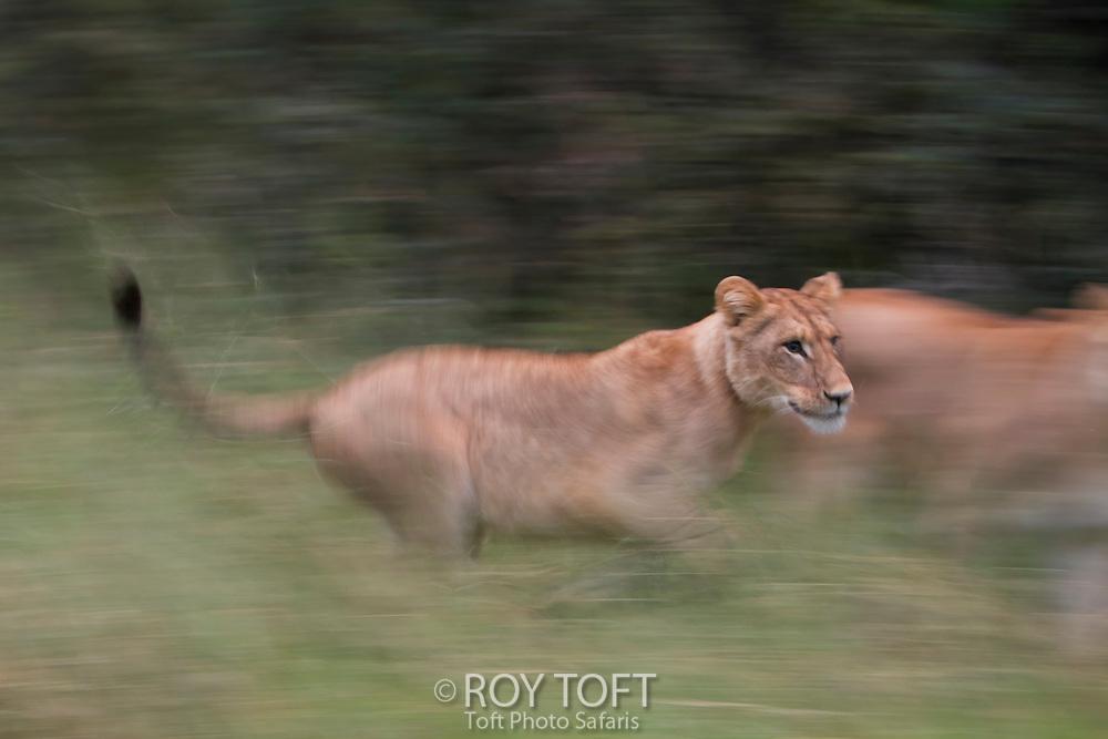 An African lion running through the grass, Botswana, Africa