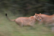 An African lion running through the grass, Botswana, Africa