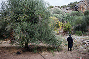 The 88 years old grandmother of the family during the Olive harvest in Palaiochora which is a small town in Chania regional unit on the island of Crete, Greece. It is located 77 km south of Chania, on the southwest coast of Crete and occupies a small peninsula 400m wide and 700m long. The town is set along 11 km of coastline bordering the Libyan Sea. Its population was 1,675 in the 2011 census. Palaiochora's economy is based on tourism and agriculture (mainly tomatoes cultivated in glass houses and also olive oil).