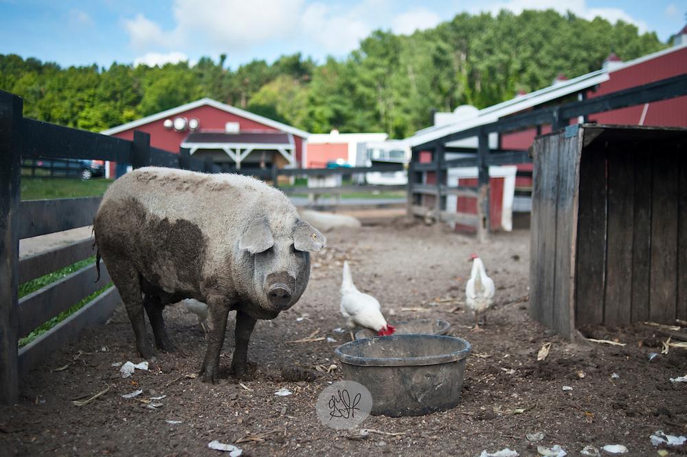 """a mangalista """"curly haird pig"""", at Blackstar Farms."""