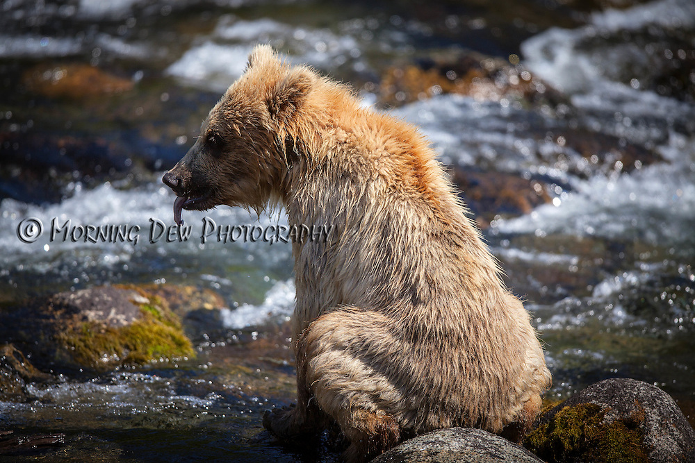 A yearling brown bear cub rests on some rocks in the Riffles along Brooks River.