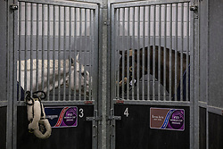 Cornet D'Amour and Valegro having a chat<br /> Departure of the horses to the World Cup Finals in Las Vegas from Schiphol - Amsterdam 2015.<br />  © Hippo Foto - Dirk Caremans