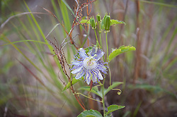 Passion Fruit Flower Outdoors